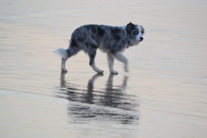 The Surfer's Dog...hardly a glamorous breed but tough.