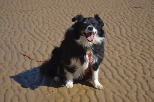 Bilbo our 8 year old Border Collie who naturally behaves himself despite Lady's antics.