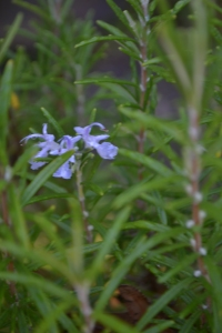 A solitary flower on our rosemary bush. The neighbour's bush is covered in flowers.
