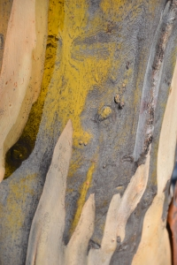Close-up of the beautiful colours running through snow gum bark . What a beautiful palette!