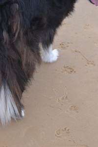 The journey of a thousand miles, begins with one paw print in the sand.
