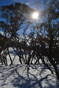 Sun shining through the Snow Gums, Perisher.