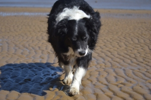 Our Border Collie Bilbo out on the mud flats. No doubt he is looking for his tennis ball. He doesn't care about the view and certainly tries to avoid the water.
