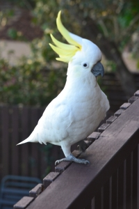 There are large flocks of Sulphur-Crested Cockatoos along the waterfront sustained as much by people, as the food nature provides.