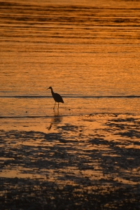 Grey Heron at Sunset, Pittwater. Really makes me wish to be a bird!
