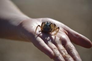 Soldier crab.