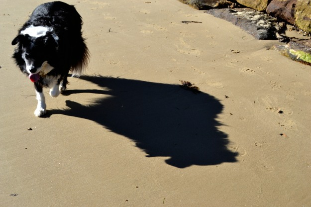 Our Philosophical Dog walking along beside the tide. He doesn't like getting wet paws.