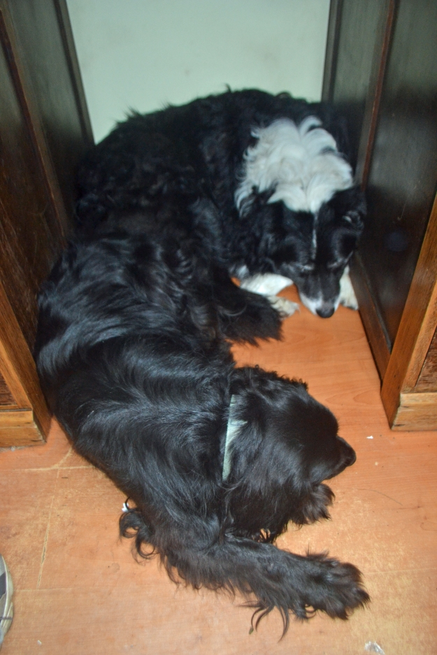 Dogs sleeping under my desk. While the rest of us have had to get back to the real world, the dogs are on a perpetual holiday.