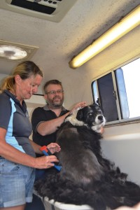 The clip gets underway. Look at all that fur coming off. As I said, it was like shearing a sheep!