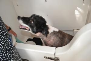 A shorn Bilbo having his bath. Looks like he much prefers the salon treatment to the hose.
