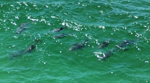 Dolphins viewed from Cape Byron Lighthouse.