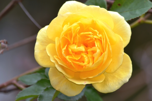 I photographed this gorgeous yellow rose, the symbol for jealousy, at the home of artist Hans Heysen, The Cedars, Hahndorf, South Australia. Both Hans and his daughter Nora created incredible rose portraits.