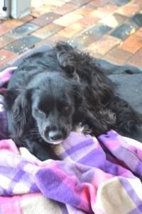 "Lady being quite the ""dog hog"" taking up both the huge woolen blanket and dog bed, leaving Bilbo shivering on the door mat before I intervened. I'm sure many blokes who've lost the doona mid-winter would say: ""typical woman"". I do think Lady also tries to live up to her name and sometimes even Bilbo is treated like the ""Tramp""."