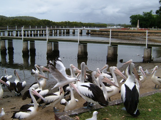 Unruly pelicans and sea gulls squabbling during feeding time.