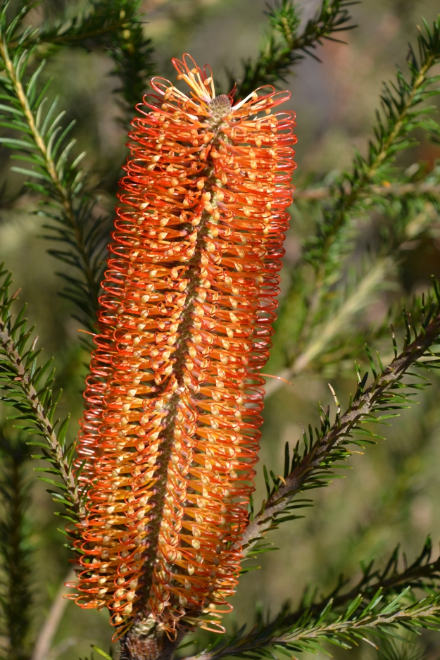 Heath-leaved Banksia, Banksia Ericifolia , Kariong,, New South Wales.