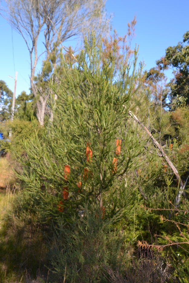 This Banksia bush reminded me of a straggly Christmas Tree. what with its stunning golden