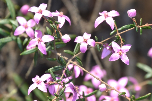 Beautiful Boronia Flowers.
