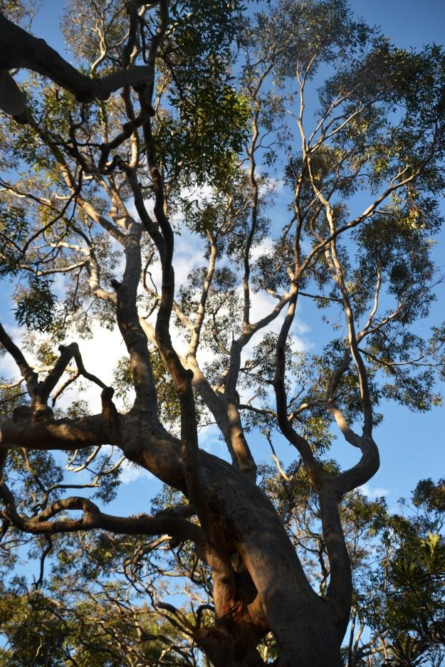 In awe of the soaring gum trees.