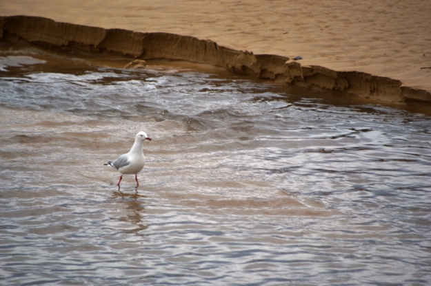 Jonathon Livingstone Seagull Opted to Walk in the Rain.