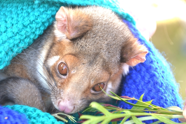 How cute: Baby Ringtail Possum.