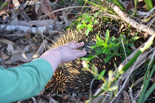 Mister bravely patting a wild echidna. Watch out for those spines!