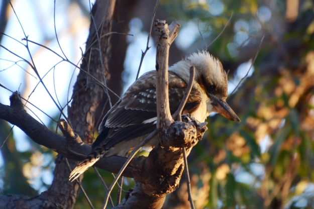 Kookaburra sits on the old gum tree. They might look cute and sound hilarious but they have the last laugh once they've snatched the snags off your BBQ!