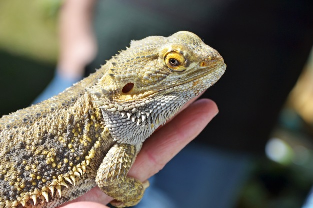 This lizard looks quite accustomed to the camera!