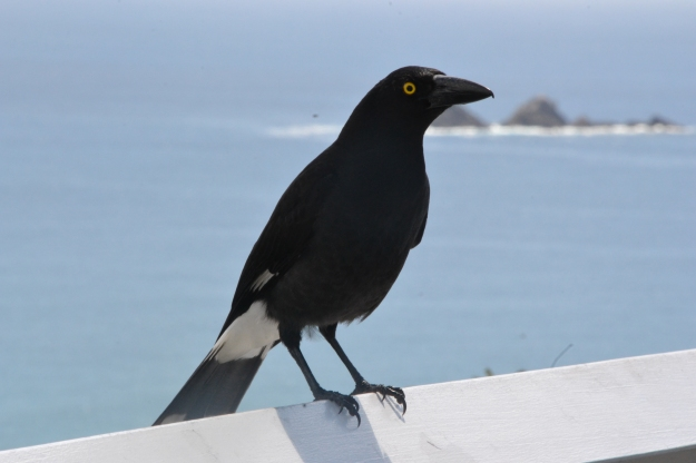 Pied Currawong, Byron Bay Lighthouse looking towards Julien Rocks.