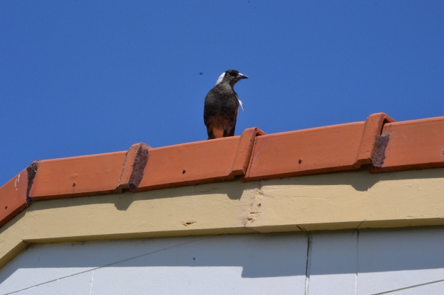 Magpie on the roof of the lighthouse keeper's cottage, Byron Bay lighthouse.