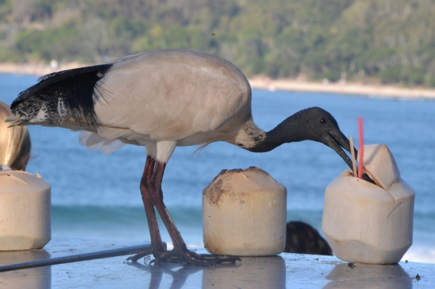 Ibis drinking coconut milk