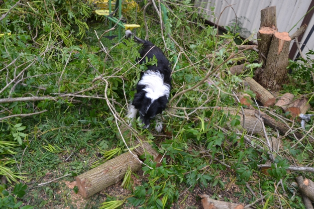Our Border Collie doing his agility training...chasing his ball through the debris. He';s an addict!