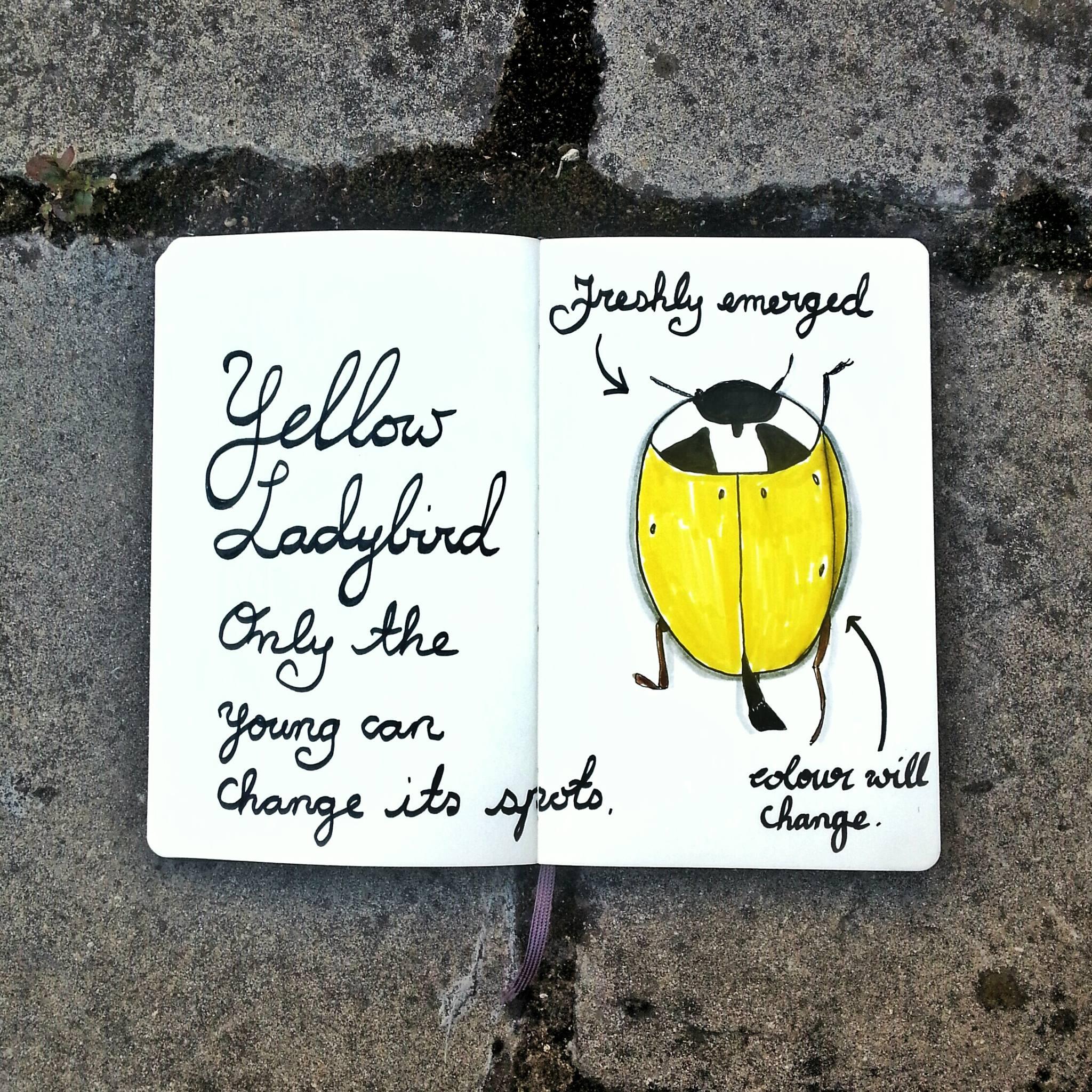954 Yellow Ladybird