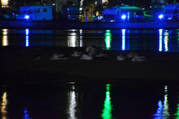 pelicans sleeping