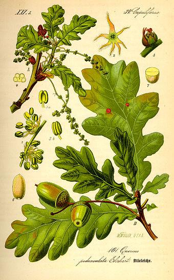 oak-340px-illustration_quercus_robur0