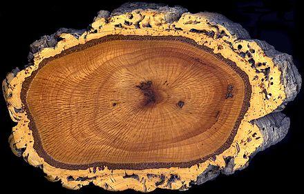 oak-440px-cork_oak_trunk_section