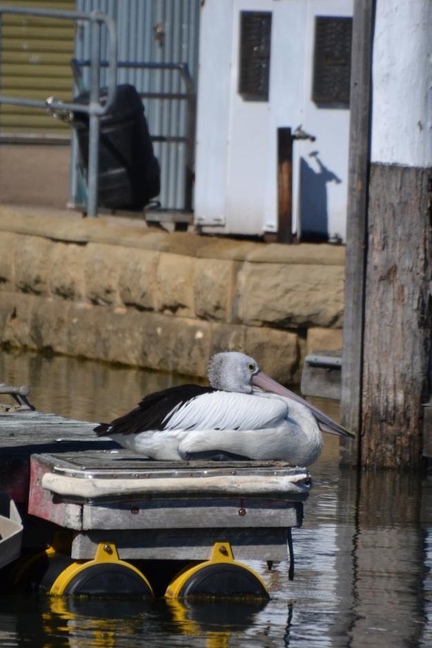pelican zoom