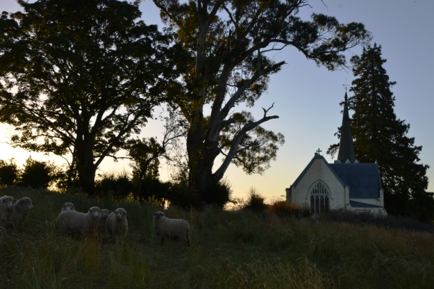 sheep-anglican-church-deloraine2