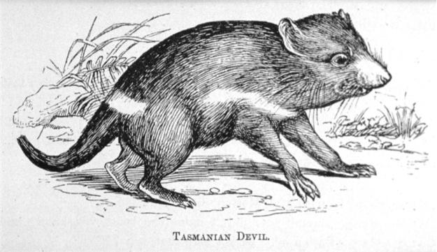 Tasmanian Devil etching