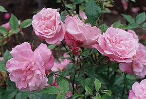 Rosa_'Old_Blush'
