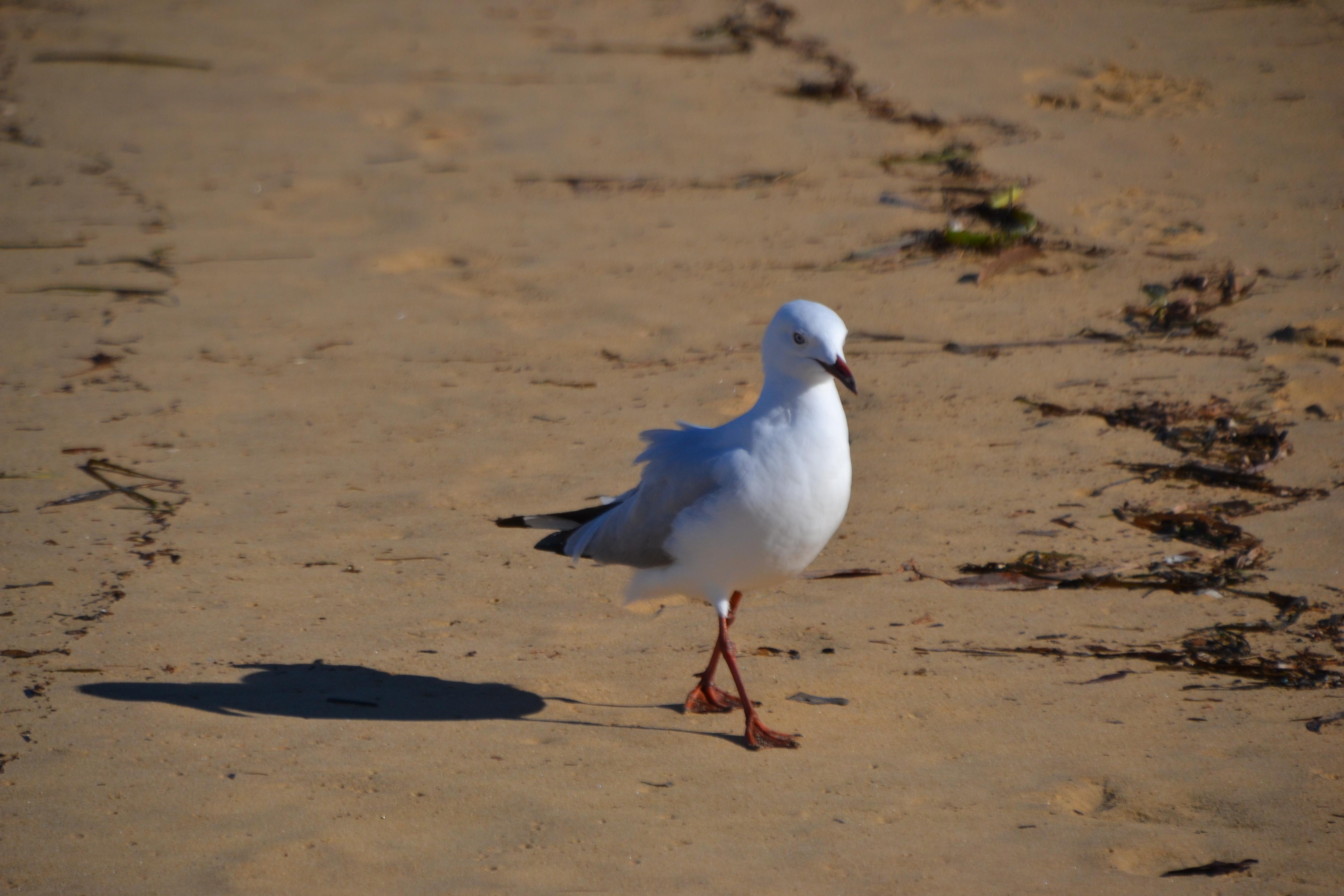ruffled gull