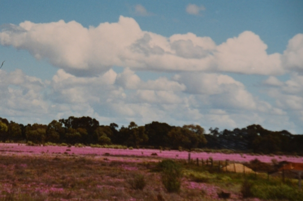 Nullarbor Pink Everlastings