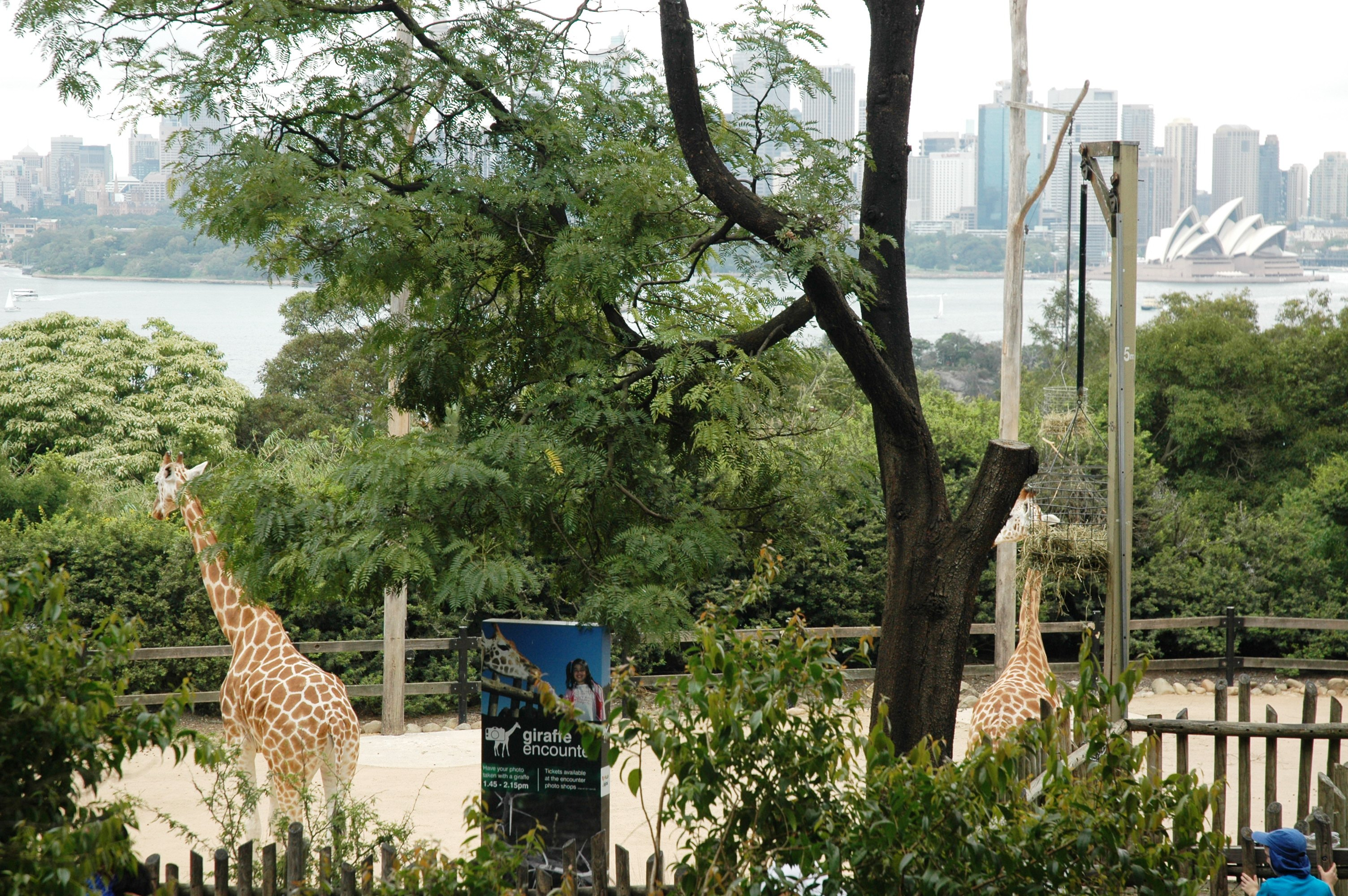 Giraffes Taronga Sydney Opera House