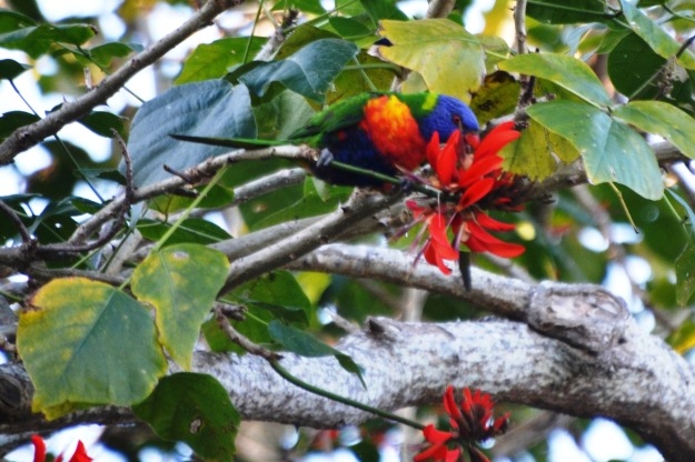 Lorikeet in a flame tree