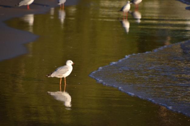 Sea gulls Patonga